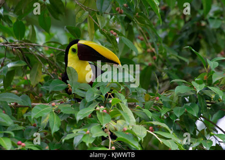 The Swainson's toucan or chestnut-mandibled toucan is a subspecies of the yellow-throated toucan. It breeds from - Stock Photo