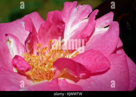 The rose with the name Eliza is a medium pink hybrid tea rose, which is bred by Wilhelm Kordes III in 1994. It can - Stock Photo