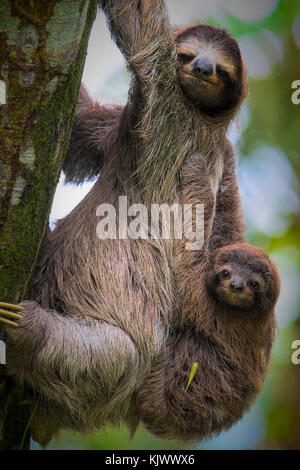 A brown-throated sloth (Bradypus variegatus) is a 3-toed sloth. The mother is carrying the baby on the back. - Stock Photo