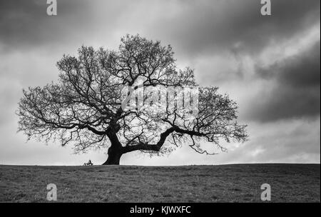 Lone oak tree in dormant winter phase with cloudy sky - Ashton Court Bristol UK ( mononchrome image ) - Stock Photo