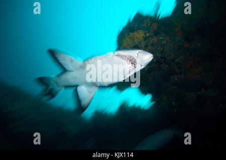 Ragged tooth shark , also called a sand tiger shark or grey nurse shark. Protea Banks, KuaZulu Natal, South Africa. - Stock Photo