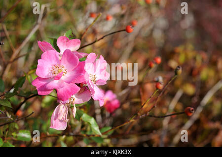 pink flowers of a dog rose - Stock Photo