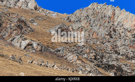Herd of Himalayan Blue Sheep, Bharal or Naur (Pseudois nayaur) on a mountain range, SiChuan, in a Tibetan Area, - Stock Photo