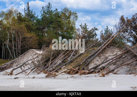 Pine trees on a sand dunes near Leba seen from Baltic Sea beach in strict protection area of Slowinski National - Stock Photo