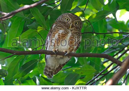 Asian barred owlet Glaucidium cuculoides Beautiful Birds of Thailand - Stock Photo