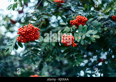 Ripe berries of mountain ash, grow on tree, autumn red berries, close-up, vintage style in a park. - Stock Photo