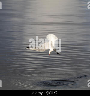 Black headed gull, Chroicocephalus ridibundus, in winter plumage, diving to fish in the tidal estuary of the River - Stock Photo