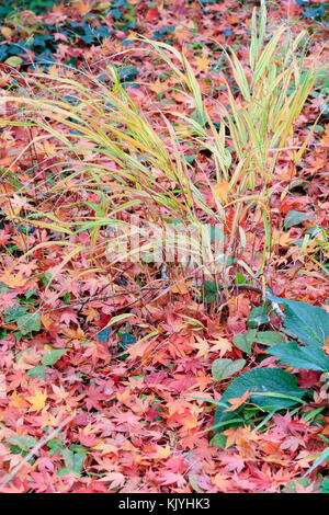 Hakonechloa macra 'Alboaurea', the yellow variegated Hakone grass, stands in a carpet of fallen Japanese maple leaves - Stock Photo