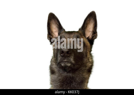 portrait of a Belgian Shepherd dog Malinois charbonnée with a proud and powerful port of the head to the attentive - Stock Photo