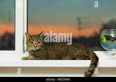 cat of reed color lies near the window in the evening during the sunset of the sun - Stock Photo