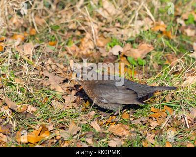 Blackbird Turdus merula female swallowing fallen sloe berry in blackthorn hedge Norfolk Stock Photo