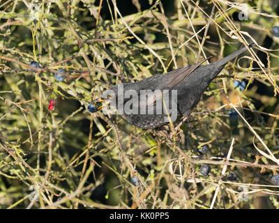 Blackbird Turdus merula male with sloe berry in blackthorn hedge Norfolk Stock Photo