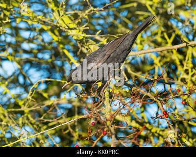 Blackbird Turdus merula male feeding on sloe berry in blackthorn hedge Norfolk Stock Photo