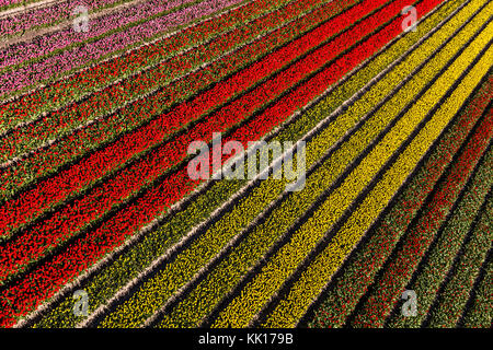 Aerial view of the tulip fields in North Holland, The Netherlands - Stock Photo