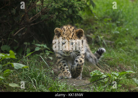 Three-month-old Amur leopard (Panthera pardus orientalis) at Leipzig Zoo in Leipzig, Saxony, Germany. Two Amur leopards - Stock Photo