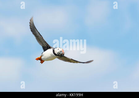 Atlantic puffin (Fratercula arctica) flying with caught fish, Farne Islands, Northumberland, England, UK. - Stock Photo