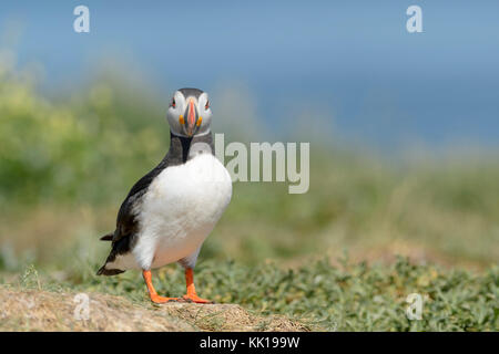 Atlantic puffin (Fratercula arctica) standing on cliff edge, looking at camera, Farne Islands, Northumberland, England, - Stock Photo