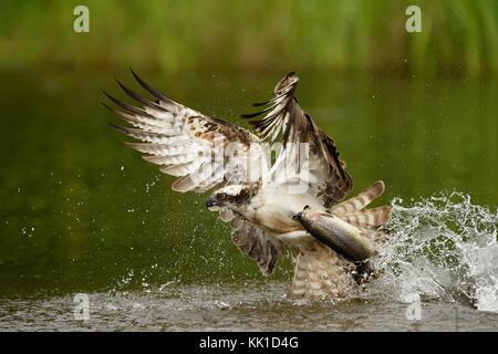 Osprey Fishing - Stock Photo