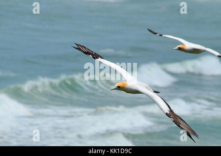 Australasian Gannets in flight, Muriwai Beach, North Island, New Zealand - Stock Photo