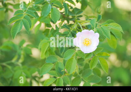 Rosa Canina Dog Rose Flower with Green Leaves - Stock Photo