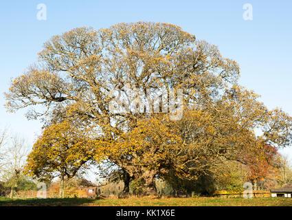 Sweet chestnut tree, Castanea saliva, autumn leaves Woodborough, Wiltshire, England, UK - Stock Photo