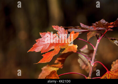 Maple leaves at sunset against a forest background. Close-up. Outdoors. - Stock Photo