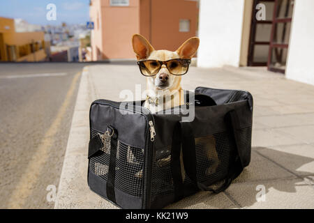 chihuahua  dog in transport bag or box ready to travel as pet in cabin in plane or airplane  , wearing sunglasses - Stock Photo