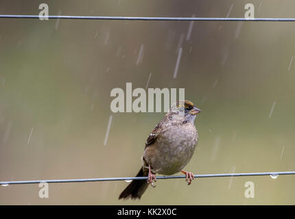 Elkton, OREGON, USA. 28th Nov, 2017. A small sparrow perches on an electric fence around an orchard during a rain - Stock Photo