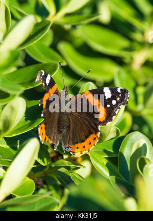 Red Admiral butterfly (Vanessa atalanta, Red admirable) in a tree in Autumn in West Sussex, in the South of England, - Stock Photo