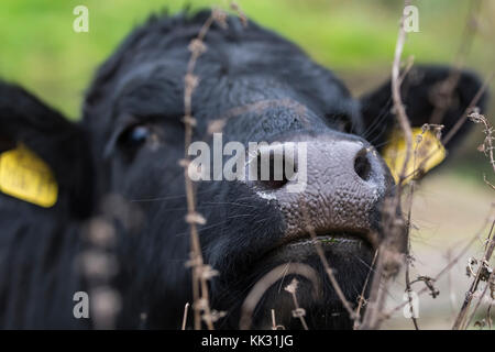 Head and face of a cow, focused on it's nose, looking at the camera. - Stock Photo