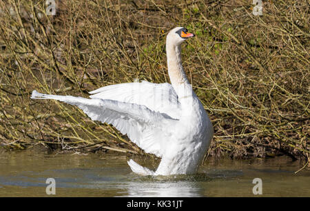 Adult White Mute Swan (Cygnus olor) standing on water stretching it's wings out in Autumn in the UK. - Stock Photo