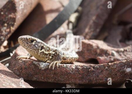Female sand lizard (Lacerta agilis) basking in spring sun. - Stock Photo