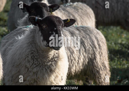 Sheep : North Country mule ewe with tails on grass with long wool before shearing, livestock in East Sussex Kent - Stock Photo