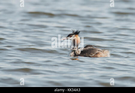 Great Crested Grebe-Podiceps cristatus swims with her chick. - Stock Photo