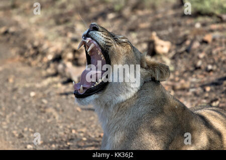Tired lion in the Kruger National Park, South Africa - Stock Photo