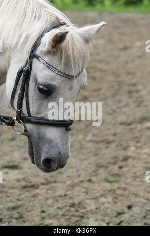 Head of a white horse in the riding field - Stock Photo