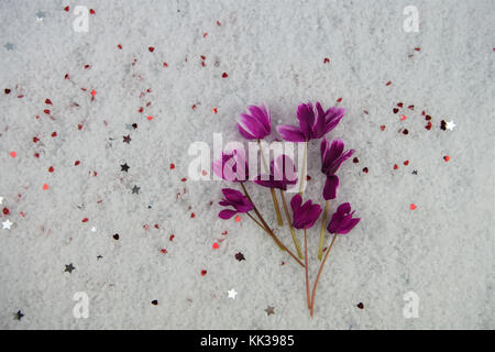 winter photography image with fresh cut seasonal flowers of pink purple cyclamen in snow and sprinkled with small - Stock Photo
