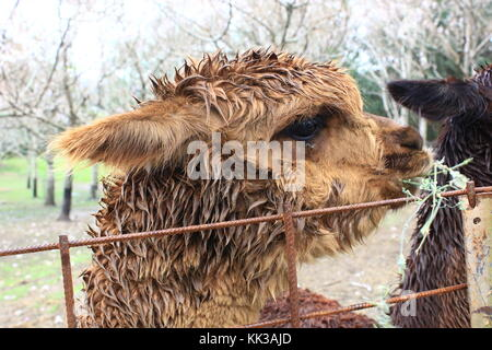 An alpaca (Vicugna pacos) - Stock Photo