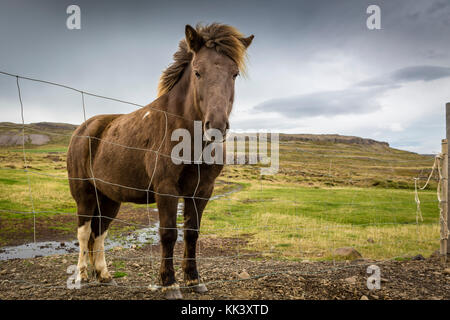 LAUGARBAKKI TO GRUNDARFJOROUR - Icelandic horse - Stock Photo