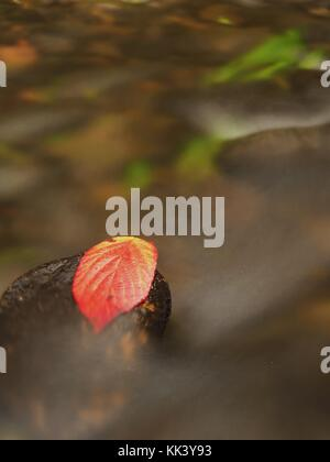 Thorny raspberry leaf caught on wet stone. A leaves trapped in the middle of a mountain stream.