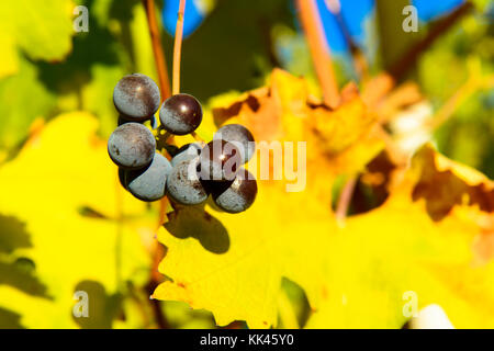 Small bunches of grapes left in the vineyard after harvest in the late autumn, at the bottom the colorful landscape - Stock Photo