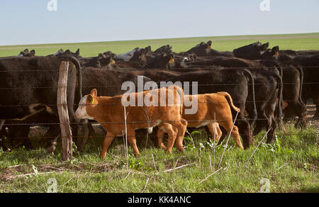 Cattle grazing in pasture behind electric fence on sunny day, Kansas, USA - Stock Photo