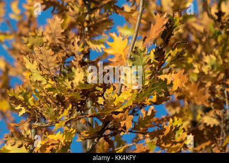 autumn leaves of Pedunculate Oak (Quercus robur) - Stock Photo