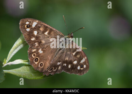 Speckled Wood (Pararge aegeria) butterfly resting on a leaf - Stock Photo