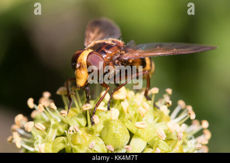 Volucella zonaria (a hoverfly hornet-mimic) feeding on Ivy (Hedera helix) flowers - Stock Photo