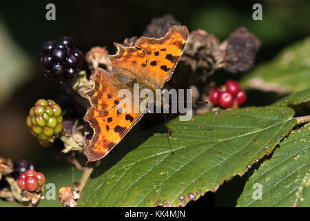 Comma (Polygonia c-album) butterfly resting on blackberries - Stock Photo