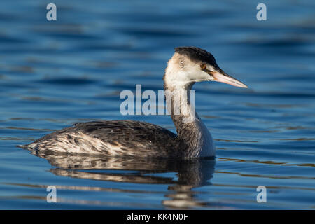 adult Great Crested Grebe (Podiceps cristatus) in non-breeding plumage - Stock Photo