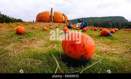 Pumpkin in a black container Put on the lawn - Stock Photo