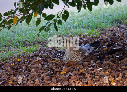 Bush stone curlew loafing amongst leaves in shade of tree in Queensland Australia - Stock Photo