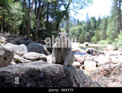 Cute squirrel on a hiking path in Yosemite national park Stock Photo